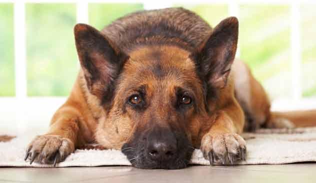Animali i cani possono mostrare empatia